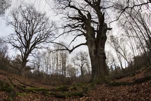 Baumlichtung im Urwald Sababurg