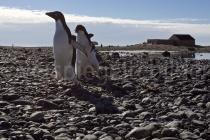 Adélie Pinguine auf Cape Adare, Antarktis