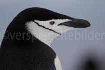 Zügelpinguin auf Halfmoon Island, Antarktische Halbinsel