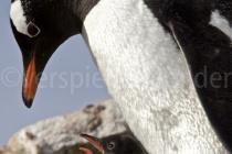 Eselspinguine auf Petermann Island, Antarktische Halbinsel