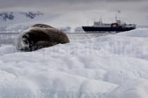 Weddell Robbe bei Paradise Harbour, Antarktische Halbinsel
