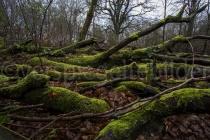 Baumstämme im Urwald Sababurg
