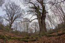 Eichen im Urwald Sababurg