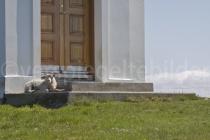 Schaf auf den Stufen der Kirche auf der Insel Flatey, Island