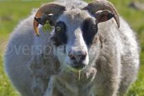 dickes Schaf auf der Insel Flatey, Island