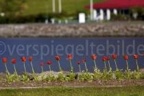 Tulpen in Isafjördur, Island