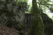 Baum in der Twannbachschlucht