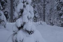 schneeverhangener Baum bei Luosto