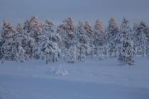 Bäume bei Luosto erhaschen mit ihren Spitzen die ersten Sonnenstrahlen des Jahres