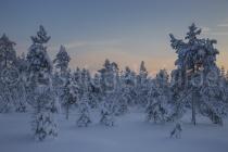 schneebedeckte Bäume im Abendlicht
