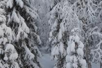 schneebedeckte Bäume in Luosto