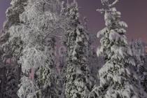 schneebedeckte Bäume in Luosto bei Nacht, vom Mond beschienen