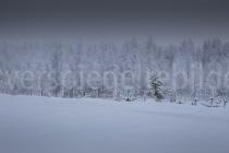 schneebedeckte Bäume bei Luosto