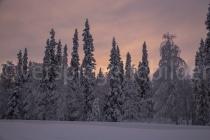 schneebedeckte Bäume in Luosto beim Abendlicht