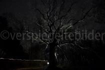 Eiche in der Nacht, von hinten beleuchtet
