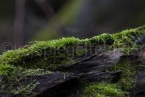 Moos im Urwald Sababurg