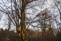 Baum im Abendlicht, Urwald Sababurg