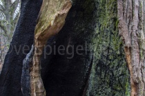 morsche Eiche im Urwald Sababurg