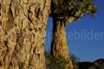 Köcherbaumwald, Keetmanshoop, Namibia
