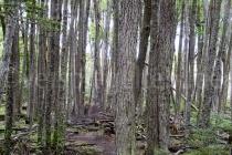 Urwald Tierra des Fuego, Argentinien
