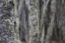Baumstämme mit Moos im Urwald von Tierra del Fuego, Argentinien