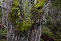Baum im Urwald Tierra del Fuego, Argentinien