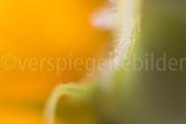 Makroaufnahme einer Sonnenblume