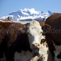 Kühe im Torres del Paine-Nationalpark vor Bergpanorama
