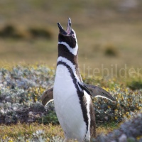 Magellanpinguin in Seno Otway in Patagonien