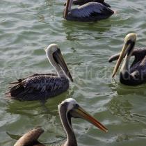 Pelikane im Paracas-Nationalpark, Peru