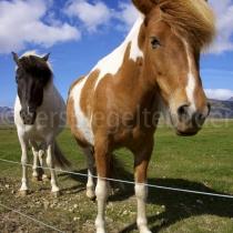 Pferd im Umland von Reykjavik
