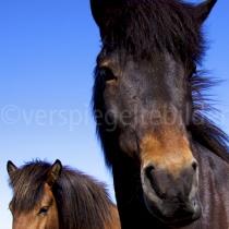 Pferde im Umland von Reykjavík