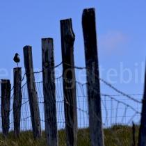 Zaun mit Vogel auf der Insel Flatey, Island
