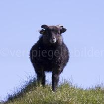 Schaf auf der Insel Flatey, Island