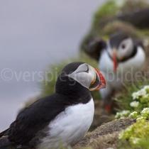 Papageientaucher auf dem Vogelfelsen bei, Island