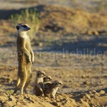 Erdmännchenfamilie in der Abendsonne im Kgalagadi Transfrontier Nationalpark, Namibia und Südafrika