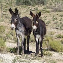 Zwei Esel am Strassenrand bei Bokspits, Südafrika