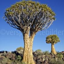 Köcherbaumwald bei Keetmsnhoop, Namibia