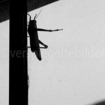 Riesenheuschrecke am Badezimmerfenster in der Fish River Canyon Lodge, Namiba