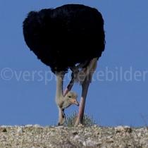 Strauss auf einem Hügel im Kgalagadi Transfrontier Nationalpark, Namibia und Südafrika