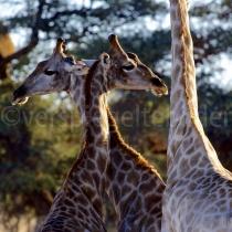 Giraffen auf der Kalahari Farm Stampriet bei Mariental, Namibia