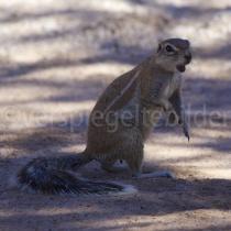 Erdhörnchen im Bungalow-Bereich des Kgalagadi Transfrontier Nationalpark, Südafrika
