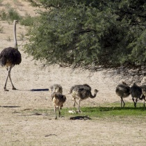 Straussenfamilie im Kgalagadi Transfrontier Nationalpark, Namibia und Südafrika