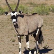 Oryx im Kgalagadi Transfrontier Nationalpark, Namibia und Südafrika