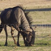 Streifengnu im Kgalagadi Transfrontier Nationalpark, Namibia und Südafrika