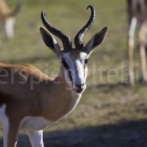 Springbock im Kgalagadi Transfrontier Nationalpark, Namibia und Südafrika