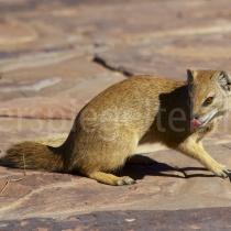 Manguste in der Bungalow-Zone des Kgalagadi Transfrontier Nationalpark, Südafrika