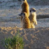 Erdmännchenfamilie in der Morgensonne im Kgalagadi Transfrontier Nationalpark, Namibia und Südafrika