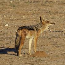 Schakal im Kgalagadi Transfrontier Nationalpark, Namibia und Südafrika