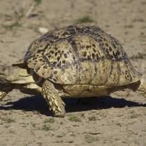Schildkröter im Kgalagadi Transfrontier Nationalpark, Namibia und Südafrika